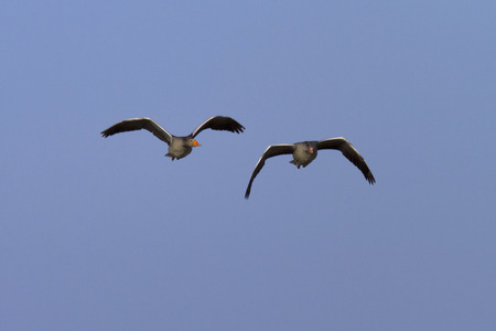 geese flying together Stock Photo