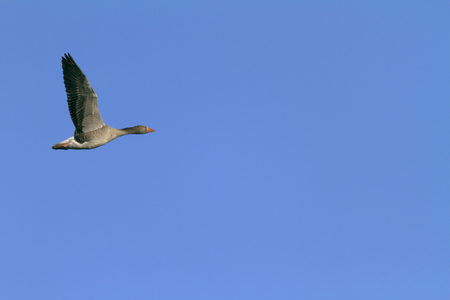 one goose in the air
