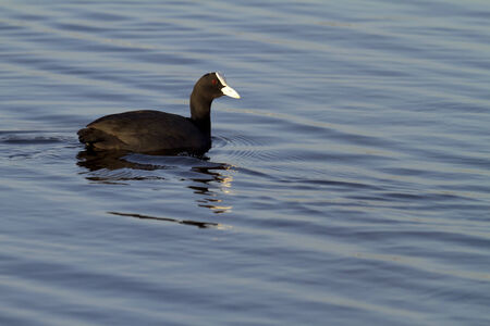 coot: coot