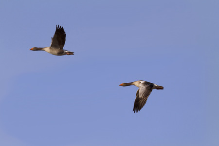 flying geese Stock Photo