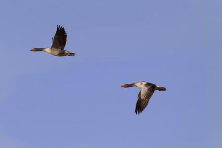flying geese Reklamní fotografie