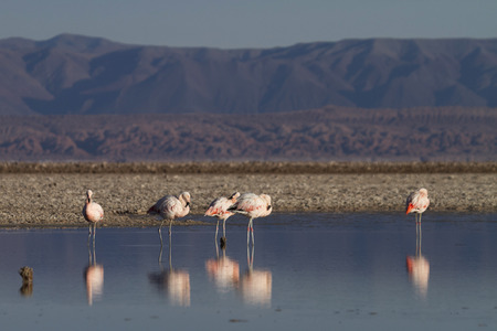 flamingos reflected in the Lake