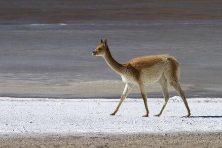 Llama on the salty banks