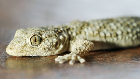 gecko macro shot