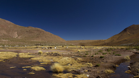 llamas in the field in the Andes mountains