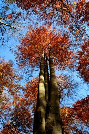 Buche im Herbstwald