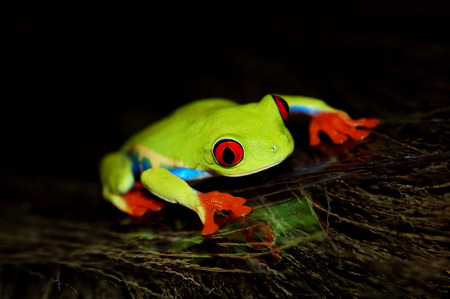 redeyed tree frog: red eyed tree frog .Agalychnis callidrias a tropical amphibian from the rain forest of Costa Rica and Panama. Beautiful jungle animal.