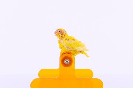 white perch: Bird stand on the perch with white background. Stock Photo