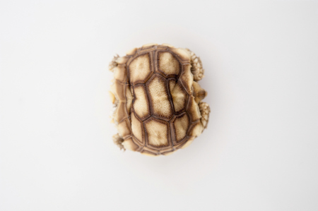 sulcata: African Spurred Tortoise (Geochelone sulcata) isolated on white background.
