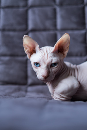 bambino: Bambino is sitting on a sofa. He is a breed of cat that was created as a cross between the Sphynx and the Munchkin breeds.