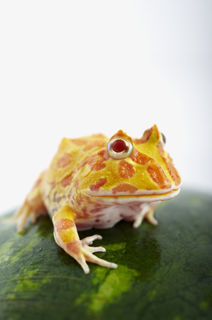 Argentine Horned Frog (Ceratophrys ornata) is on watermelon, also known as the Argentine wide-mouthed frog or ornate pacman frog, from the grasslands of Argentina, Uruguay and Brazil.