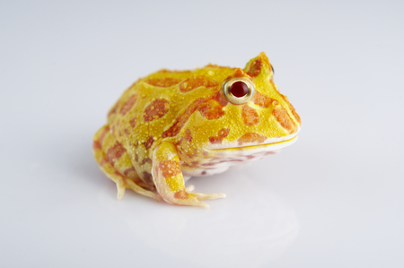 Argentine Horned Frog (Ceratophrys ornata), also known as the Argentine wide-mouthed frog or ornate pacman frog, from the grasslands of Argentina, Uruguay and Brazil. Isolated on white.