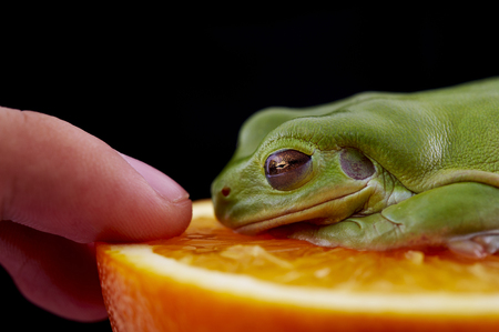 Whites tree frog (Litoria caerulea) is on a resh orange and look at finger, From species of tree frog native to Australia and New Guinea.