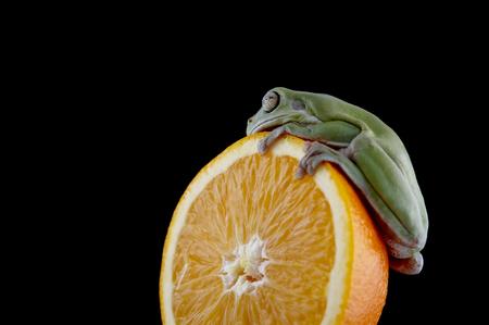 Nuova Guinea: Whites tree frog (Litoria caerulea) is on a fresh orange, from species of tree frog native to Australia and New Guinea. Archivio Fotografico