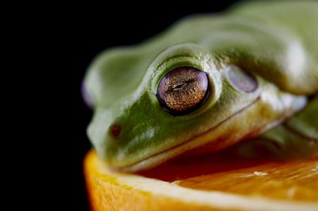 Nuova Guinea: La rana di albero di White (Litoria caerulea) è su un arancio fresco, da specie di rana di albero nativo in Australia e Nuova Guinea. Archivio Fotografico