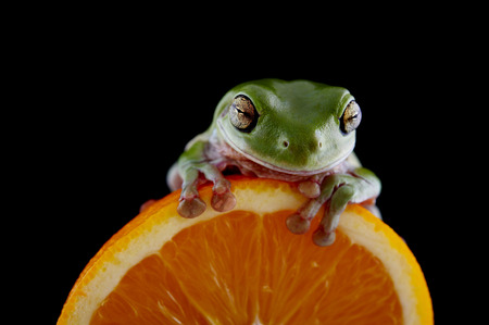 Whites tree frog (Litoria caerulea) is on a fresh orange, from species of tree frog native to Australia and New Guinea. Stock Photo