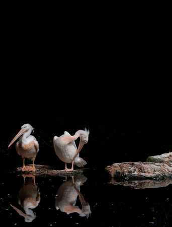 basking: Two pink-backed pelicans basking in the sun against a pitch black background Stock Photo