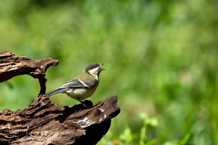 squawk: Great tit shouting from a log in the forest