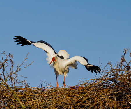 approached: A female european stork in distress on her nest because she is approached by another male (not in view)