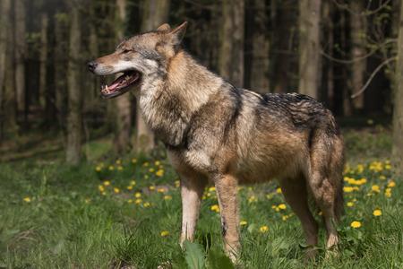 eurasian wolf: Eurasion wolf posing Stock Photo