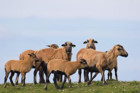 underbelly: Gregge di pecore Rare cmeroon