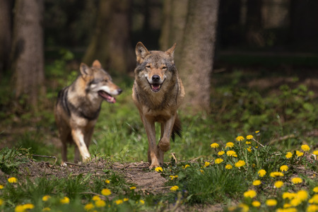 appearing: Two Eurasian wolf appearing from the woods Stock Photo