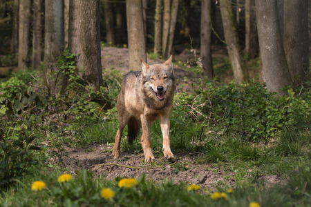 appearing: Eurasian wolf appearing from the woods