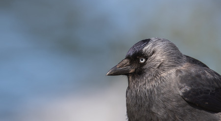 coloeus: Close-up shot of a jackdaw