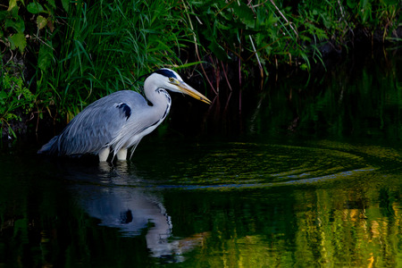 catch: Grey heron with a catch