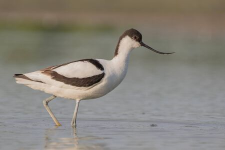 upturned: A pied avocet walking in shallow water