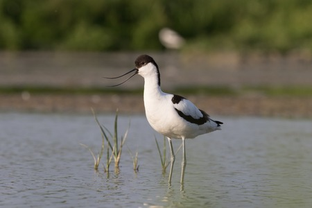 brackish water: a pied avocet standing in shallow water with open bill