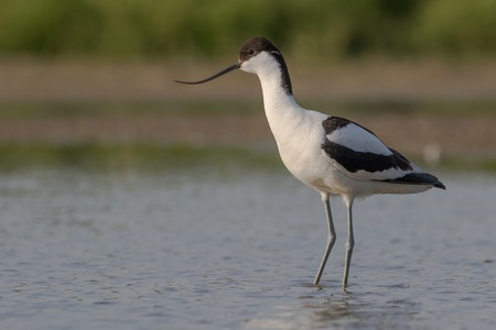 brackish water: a pied avocet standing in shallow water