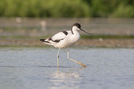 shallow water: a pied avocet walking in shallow water