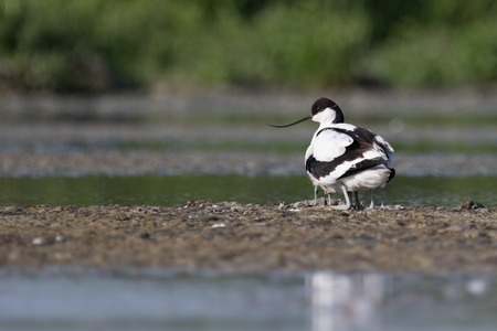 avocet: Pied avocet mum with four chicks under her wings