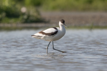 waterbird: Pied avocet walking with long legs in shallow water