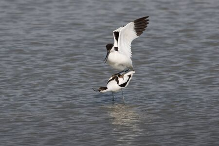 upturned: A male pied avocet is mating with a female Stock Photo