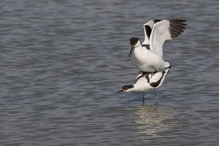 brackish water: A male pied avocet is mating with a female Stock Photo