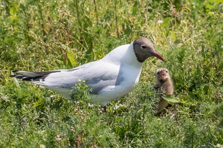 headed: black headed gull about to regurgitate to feed her chick
