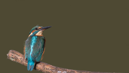 common room: Common Eurasian kingfisher looking up with room for text