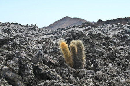 lava field: Lone cactus colonizing a lava field on Galapagos