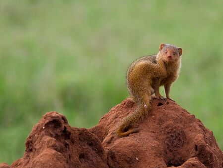 mound: A dwarf mongoose on a termite mound scratching his neck