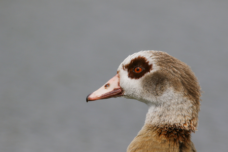 alopochen: Close-up portrait of an adult Egytian goose Stock Photo