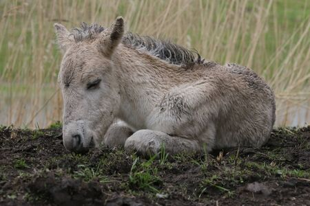 stocky: Konik foal lying down on the ground Stock Photo