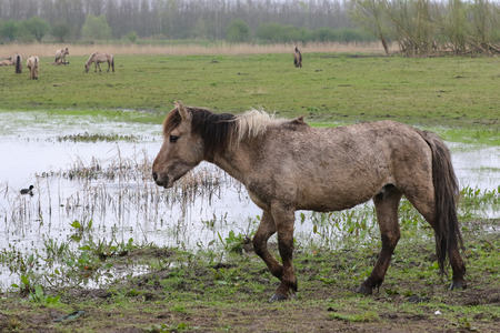 stocky: Konik horse walking in the rain in the Oostvaardersplassen, The Netherlands Stock Photo