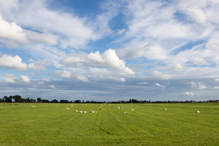 polder: Typical tranquil Dutch polder scene with sheep