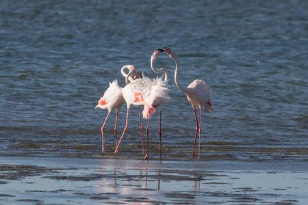 Greater flamingos head-flagging at Walvis Bay Lagoon, Namibia