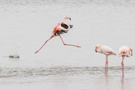 Greater flamingo performing grand jete at Walvis Bay Lagoon, Nam