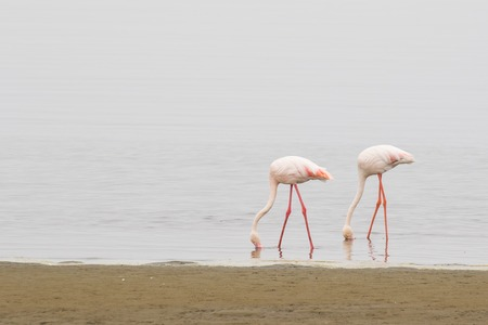 Two greater flamingos feeding at Walvis Bay Lagoon, Namibia Stock Photo