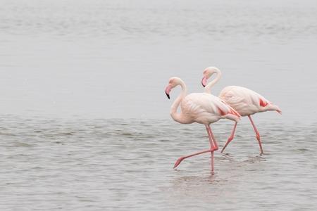 Two greater flamingos walking at Walvis Bay Lagoon, Namibia
