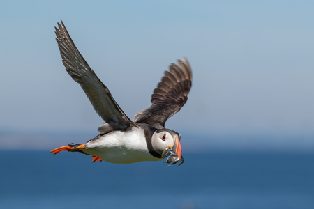 A ringed atlantic puffin flying by with a mouth full of sand eels